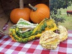 Goards & Pumpkins.  Photo by Frederick Meekins