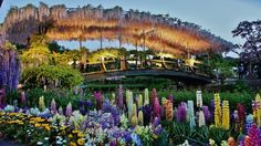 Come and see one of the best places to view amazing and blooming fuji flower here in Ashikaga Flower Park located in Ashikaga City, Tochigi Prefecture. Its Japan's most popular flowers! #discoverjapan #explorejapan #traveljapan #japantravel #allaboutjapan #welovejapan #ilovejapan #japan #flowerpark #flowerparkjapan #fujiflowers #wisteria #wisteriajapan #ashikaga #ashikagatravel #tochigi #tochigitravel