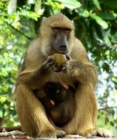 """Yellow Baboon """"Papio cyancephalus"""" -   found in Zambia, Eastern and Mid South Africa"""