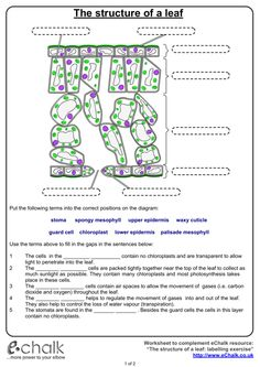 Leaf Structure And Function Worksheet Answers -  #answerkeyleafstructureandfunctionworksheetanswers #leafstructureandfunctionworksheetanswers Showing top 8 worksheets in the category leaf structure. Click here to learn more. The Structure Of A Leaf The conducting tissue in a plant that trans... Leaf Structure And Function, Photosynthesis Worksheet, Biology Poster, Plant Lessons, Structured Water, High School Biology, Matter Science, 4th Grade Science, Science Worksheets