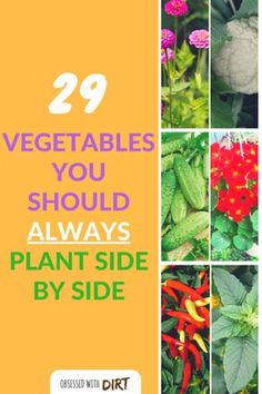 Growing some vegetables side-by-side can have positive effects on one or both of the plants involved. This method of planting is called companion planting, as in, a companion who supports its partner. Companion gardening is incredible easy and a great way to reduce pests, increase pollination and improve your soil.