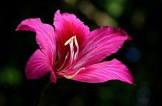 Bauhinia Blakeana. Photo taken in Kawaihau, Kauai, Hawaii by Elangovan Shanmugam.