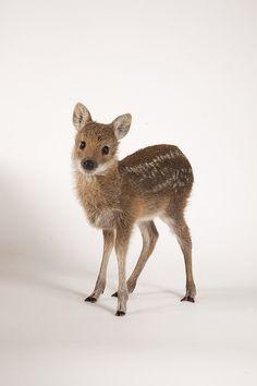Chinese Water Deer (Hydropotes inermis) in Buckinghamshire_ UK