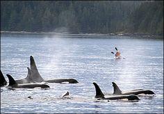 Next Trip: Kayak with orcas