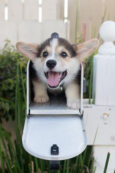 Corgi in a mailbox!