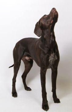 German Shorthaired Pointer, Weimaraner, Dog Stuff, Pointers, Doggies, Dog Breeds, Dog Cat, Fancy, Puppies