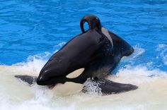 VICTORY: SeaWorld Park Can't Breed Orcas Anymore. This could signal the end for SeaWorld. Yes!