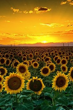 Sun setting over breathtaking sunset fields. #nature #sunset #flowers