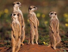 I love meerkats.....