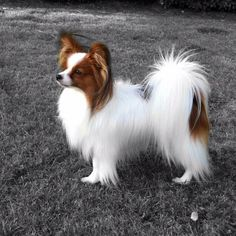 311 Best Papillon images in 2018 | Papillon dog, Dogs, Dogs