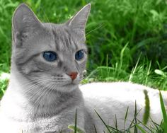 Featherpaw gray tabby she cat with blue eyes