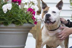 American Bulldog/Pitbull Terrier mix!