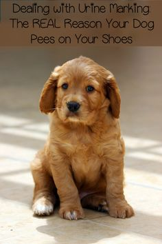 Urine Marking – A Common Dog Behavior Problem