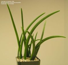 Full size picture of Sansevieria (<i>Sansevieria canaliculata</i>)