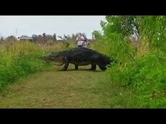 Giant Alligator That Looks Like Dinosaur Spotted In Florida (Video) : Nature & Environment : Science World Report
