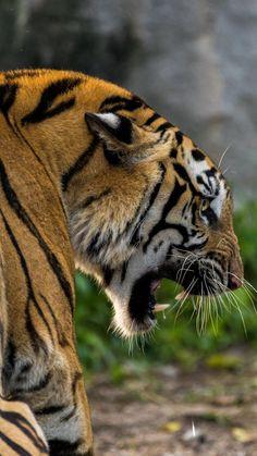 Predator, a beast, tiger, animal, wallpaper - Angry Tiger, Pet Tiger, Tiger Art, Tiger Wallpaper, Animal Wallpaper, Tiger Photography, Wildlife Photography, Beautiful Cats, Animals Beautiful