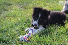 "Border Collie Puppy for Sale: ABCA ""EMILY"" - cb13657a-dd51"