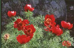 En gammal pionpärla är dillpionen med glänsande lackröda blommor och gracilt bladverk. Blommar tidigt. Planer för friland 2014
