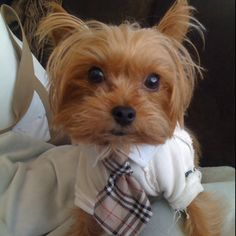 Fashionable Henry awe this could be Daisy's little companion! What a handsome little Yorkie!