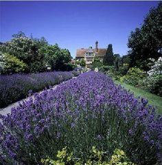 20pcs/bag hot selling PROVENCE BLUE LAVENDER for DIY home garden