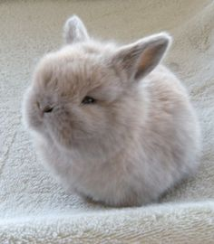 Baby Netherland Dwarf Bunnie...or as they should be called Adorable Puff Bunnies!