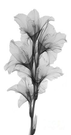 Image result for vintage gladiolus tattoo