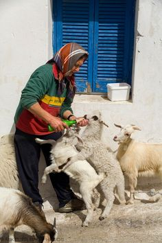 Woman and goats. Ano Sagri. Naxos island. Cyclades islands, Aegean Sea