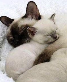 Siamese Cat – Breed Temperament & Health – Siamese of Day - Katzenrassen Beautiful Cats Siamese Kittens, Cute Cats And Kittens, Kittens Cutest, Kittens Playing, Ragdoll Cats, Kittens Meowing, Pretty Cats, Beautiful Cats, Animals Beautiful