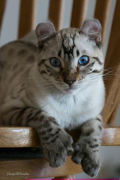 I wish I had a highland lynx like this