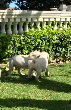 Cachorros Labrador Retriever Amarillos