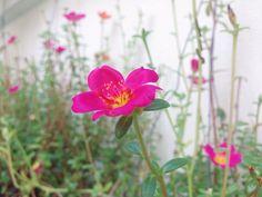 Shocking(pink) bloom.