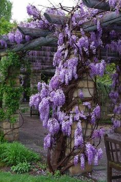 Blauregen / Glyzinie - Wisteria - Rebel Without Applause Wisteria Tree, Wisteria Pergola, Wisteria Garden, Flowers Garden, Garden Plants, Fruit Garden, House Plants, Beautiful Gardens, Beautiful Flowers