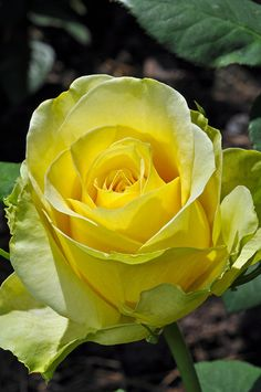 #Flowers #Rose A Perfect #Yellow Rose