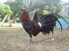 Gilmore Hatch Game Fowl