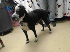 ***SUPER URGENT! 1/5/17 - ALL DOGS SUPER URGENT AT OVER CAPACITY HOUSTON FACILITY - TANK - ID#A473832 My name is TANK I am a neutered male, black and white Pit Bull Terrier and Labrador Retriever. The shelter staff think I am about 7 years old. I have been at the shelter since Dec 10, 2016. This information was refreshed 30 minutes ago and may not represent all of the animals at the Harris County Public Health and Environmental Services.