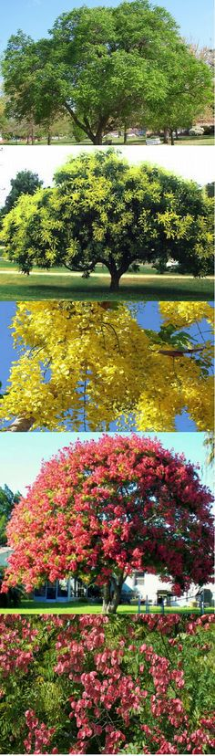 Golden Rain Tree (Koelreuteria Paniculata) - Zone 5-9b Full Sun. 30'…