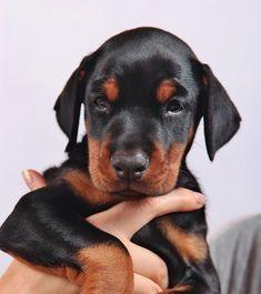 Vindt jij puppies ook altijd zo leuk? Dan is deze video zeker iets voor jou: Dobermann puppies Doberman, Labrador Retriever, Puppies, Dogs, Animals, Labrador Retrievers, Cubs, Animales, Animaux