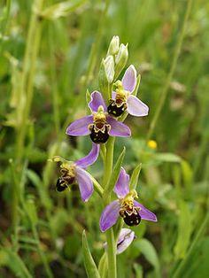 Ophrys apifera (autopollination).jpg