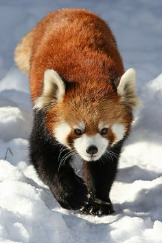 Red Panda - MY FAVORITE ANIMAL EVER..that isnt a dog..