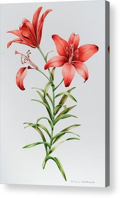 Red Lilies Acrylic Print by Sally Crosthwaite. All acrylic prints are professionally printed, packaged, and shipped within 3 - 4 business days and delivered ready-to-hang on your wall. Choose from multiple sizes and mounting options. Botanical Drawings, Botanical Illustration, Botanical Flowers, Botanical Prints, Watercolor Cards, Watercolor Flowers, Painting Flowers, Lily Painting, Flower Aesthetic