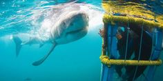 Everything you need to know about great white shark cage diving with White Shark Diving Company (WSDC) in Gansbaai – 'the world's great white shark capital'… Shark Pictures, Shark Pics, Great White Shark Diving, Apartheid Museum, Best Scuba Diving, Adventure Tours, Adventure Travel, Cape Town South Africa, Pisces