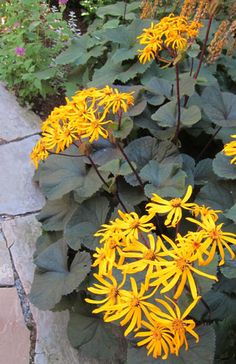 Shade Perennial - Ligularia 'Othello' Want to get some of this next year!