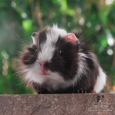 Comet at just 3 weeks! This guinea pig loves to show off how fluffy he is Super Cute Animals, Cute Baby Animals, Animals And Pets, Baby Guinea Pigs, Guinea Pig Care, Hamsters, Rodents, Peruvian Guinea Pig, Pig Pics