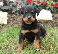 #Rottweiler #Charming #PinterestPuppies #PuppiesOfPinterest #Puppy #Puppies #Pups #Pup #Funloving #Sweet #PuppyLove #Cute #Cuddly #Adorable #ForTheLoveOfADog #MansBestFriend #Animals #Dog #Pet #Pets #ChildrenFriendly #PuppyandChildren #ChildandPuppy #LancasterPuppies www.LancasterPuppies.com Rottweiler Breeders, Rottweiler Puppies For Sale, Super Cute Puppies, Little Puppies, New Puppy, Puppy Love, Lancaster Puppies, Mans Best Friend, Labrador Retriever