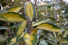 """Working my way through the Christmas tree display and the troughs of bare-rooted fruit trees, I was immediately attracted to a fine batch of Elaeagnus x ebbingei Limelight."" These tough evergreen shrubs are invaluable in the winter when the yellow variegated leaves shine out in otherwise dull gardens. In autumn and winter they carry flowers which, while not showy, have exquisitely sweet scent. Like all  Elaeagnus species, they have a symbiotic relationship with nitrogen fixing bacteria."
