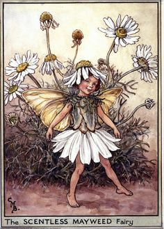 The Scentless Mayweed Fairy, painted by Cicely Mary Barker for the first edition of her book 'Flower Fairies of the Wayside' (1948).  For production reasons, this illustration no longer appears in the book today.  										   																										Author / Illustrator  								Cicely Mary Barker