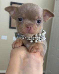 Super Cute Puppies, Cute Little Puppies, Cute Dogs And Puppies, Cute Little Animals, Baby Dogs, Teacup Chihuahua Puppies, Cute Chihuahua, Cute Funny Dogs, Cute Cats And Dogs