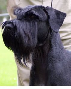 Could totally go for a Giant Schnauzer. They're the most intelligent looking dogs and I've always wanted to name one Bismark (as in Otto von not North Dakota) If it was female I'd go for Virginia (named for the virgin queen. Also my dog will be spayed so will likely be a virgin anyway)