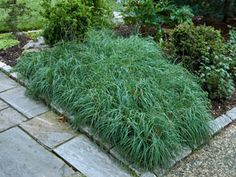 Carex Blue Zinger thrives in dry and moist sites
