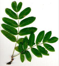 Kuvahaun tulos haulle pihlajan lehdet Pictures To Paint, Planting Flowers, Plant Leaves, Plants, Painting, Trees, Painting Art, Tree Structure, Paintings